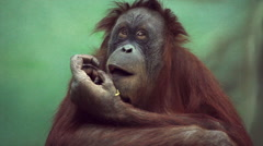 Uninhibited orangutan female close up, sitting on green blur background Stock Footage