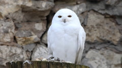 Eye contact with perching snowy owl, white male, on gray stone wall background. Stock Footage