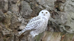 Expressive eyes of snowy owl, spotted female, sitting on gray rocky background Stock Footage