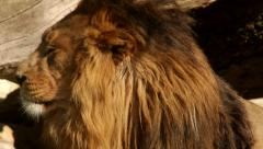 Head in profile of drowsy lion close up on wood background. The King of beasts Stock Footage