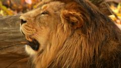 Shaggy head with open mouth of drowsy golden lion Stock Footage