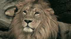 Adorable shaggy head of lion, lying on fallen tree background. Biggest cat - stock footage