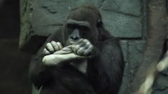 Chiropody of expressive gorilla, sitting on green stone wall background. Stock Footage