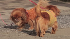 4. Three pekingese with sweater standing on sidewalk. Owner takes dogs on leash. Stock Footage