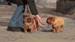 2. Three pekingese with sweater standing on sidewalk. Owner takes dogs on leash. Stock Footage