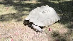 Gigantic turtle in Ethiopia, Addis Ababa - stock footage