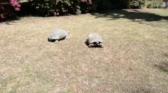 Stock Video Footage of Gigantic turtle