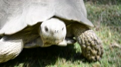 Stock Video Footage of Gigantic turtle