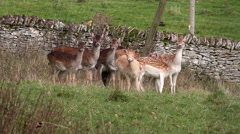 DOE & FAWN FALLOW DEER, EBBERSTON, NORTH YORKSHIRE Stock Footage