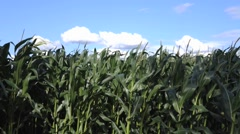 Sweetcorn Crop - stock footage