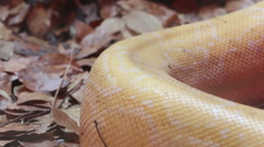 Close up Golden Thai Python (Python bivittatus) snake skin. - stock footage