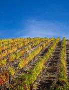 Douro Vineyards - stock photo
