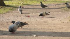 Flock of pigeons in the park walking and pecking crumbs. Birds looking for food. Stock Footage