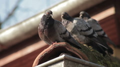Pigeons standing on the roof, looking around and fly away. Rack focus. Close up. Stock Footage