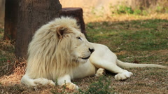 Male white lion resting. Stock Footage