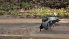 Two pigeons drinking water from puddle in the park. Rack focus. Birds landing. Stock Footage