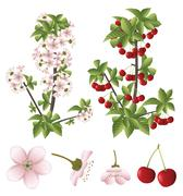 Cherry blossom and fruits Stock Illustration