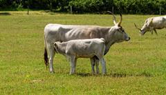 Gray cattle - stock photo
