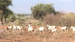 Kenya, Maasai Goats - stock footage