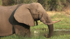 Elephant bull feeding at waters edge Stock Footage