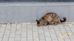 Stry tom cat eating in the street full HD footage Stock Footage