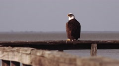 Bald Eagle sitting over looking the lake Stock Footage
