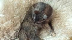 Gray cat licking over lamb fur Stock Footage
