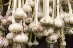 Garlic hanging to dry in the organic vegetable garden. Stock Photos