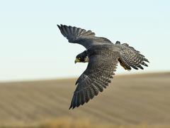Soaring Falcon - stock photo