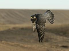 Flying Falcon - stock photo