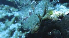 Two colourful Nudibranch Stock Footage