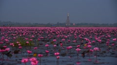 Sea of pink lotus,Nong Han, Udon Thani, Thailand (unseen in Thailand) Stock Footage
