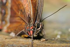 Close deatil of butterfly head and body with antenna Stock Photos