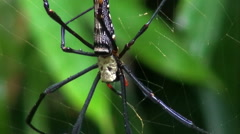 A Golden Orb-Weaver Spider - Macro Stock Footage