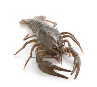 Stock Photo of Alive crawfish