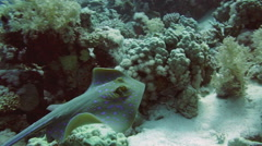 Bluespotted stingray in the Red Sea. Stock Footage
