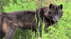 Great profile full body Timberwolf adult Stock Footage