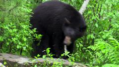 Black bear covered in mosquitoes in the woods Stock Footage