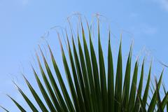 Sheet of a palm tree - stock photo