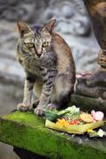 Stock Photo of Bali Cat