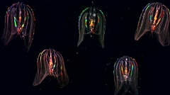 Five glowing Jellyfish float through the Atlantic Ocean. - stock footage