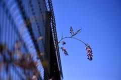 climbed the wall glycine mauve - stock photo