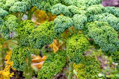 Green kale in cultivation Stock Photos