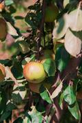 stick with the apples in the garden - stock photo