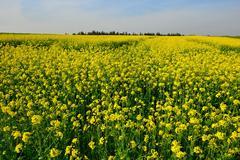 yellow flowering canola field scenery - stock photo