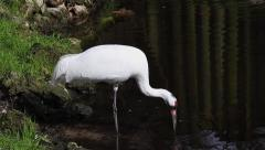 Endangered Whooping Crane adult stands in water, drinking & preening. - stock footage