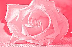 Rose for airbrushing - stock photo
