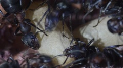 Ants and pupae in anthill Stock Footage