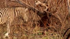 Zebra walking in bush Stock Footage