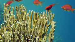 Tropical Anthias fish with net fire corals Stock Footage